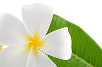 frangipani flower and leaf with isolated white background