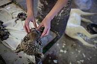taxidermy  Hunters from US and Germany shoot wildlife and stuff it as a trophy in a taxidermy workshop in Namibia