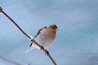 Chaffinch Fringilla coelebs perching on branch