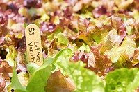 Close Up of Lettuce Growing with Marker