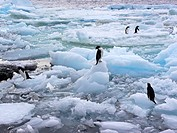 Group of Adelie Penguins on pack ice, Paulet Island, Antarctica