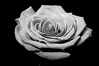 Close up of a rose flower with some parts blurry and others sharp showing its beautiful petals, isolated, black and white.