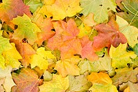 Yellow red and green maple leaves background
