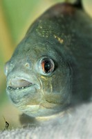 piranha.predatory fish found in South America that attacks other fish animals and occasionally humans