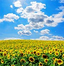 Field of sunflowers on Ukraine