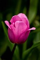 Pink tulip in the garden. Location: Istanbul, Turkey