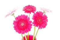 Pink Gerber flowers in vase over white background