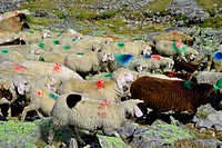 passage of sheep on the mountains at high altitude