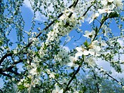 The spring time, beautiful blooming trees branches