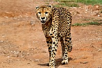 Cheetah strolling down a road in a Nature Resrve near Johannesburg