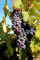 Red wine grapes ripening in the sun, still on the vine in Northern California, green leaves.