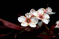 Plum Tree Blossom Isolated on Black