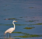 A great white egret in a salt water marsh. The egret is fairly small in the frame leaving plenty of room for text.