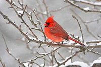 Male Northern Cardinal cardinalis cardinalis on a branch covered with snow