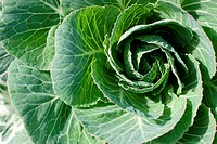 Green cabbage plant