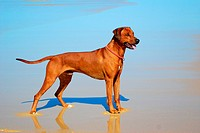 A beautiful male Rhodesian Ridgeback hound dog with alert facial expression standing in the water of a beach and staring