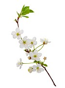 blooming cherry branch, isolated on white