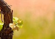 Spring in the vineyard, fresh shoots of vine with copyspace.