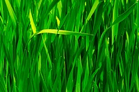 Closeup of a seamless green grass during spring.