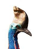 Head of southern australian cassowary