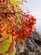 Photo of berries of a mountain ash against a landscape