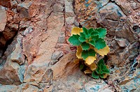 Desert Rocknettle stingbush, Emerges from Rocky Cliff in Ash Meadows National Wildlife Refuge near Death Valley