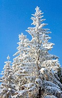 winter rime and snow covered tree tops on blue sky with some snowfall background