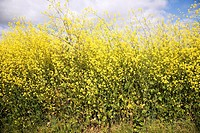Side view close up of yellow flowers of oil seed rape growing in field