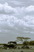 acacia, Central, Tanzania, Serengeti, National Park, afternoon, Africa