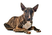 portrait of a purebred brown bull terrier in front of white background
