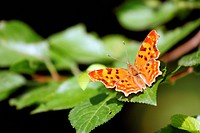 butterfly polygonia c_album species on plum tree leaves
