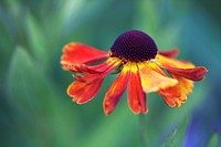 Helen´s flower, Sneezeweed, Helenium ´Moerheim Beauty´, Orange subject, Green background.