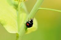 A ladybug climbing on the stem of plant