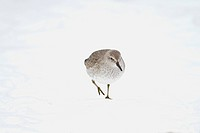 Knot Calidris canutus adult, winter plumage, walking on snow, Norfolk, England, february