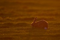 European Hare Lepus europaeus adult, feeding, backlit at sunset, Suffolk, England, march