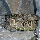 Snake _ Rattlesnake Diamond_backed WesternCrotulus atrox coiled on a rock / tongue out