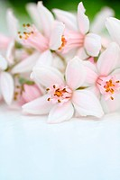 Fresh, pink flowers background