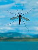 Crane Fly in natural environment