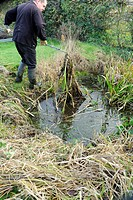 Gardener clearing overgrown vegetation from small wildlife pond in garden, Norfolk, England, december