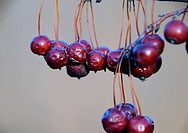 Close up picture of crabapple fruits