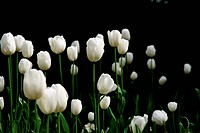 white tulips in a dark garden