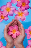 Womans hands cupping a pink frangipani flower in a blue pool