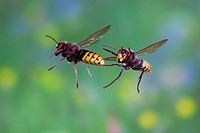 European hornets Vespa crabro workers in flight, Thuringia, Germany, Europe