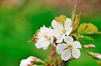 Kirschblüte _ cherry blossom 42