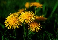 New York, Wellsville. Dandelions, Close Up.