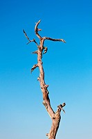Trunk of old dead tree against a bright blue sky