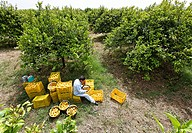 Freshly harvested yellow organic lemons being harvested in a lemon grove and packed in crates for transport, near Syracuse, Sicily, Italy, Europe