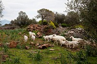 Flock of sheep, Sardegna, Sardinia, Italy, Italia