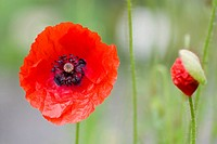 Selective focus image of the corn poppy papaver rhoeas.