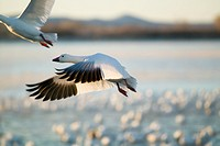 A closeup of a snow goose frozen in flight at the Bosque del Apache National Wildlife Refuge, near San Antonio and Socorro, New Mexico